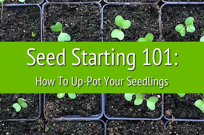 Seed Starting 101: Up-Potting