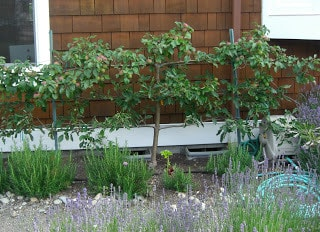 Backyard Orchard Culture: Too Good To Be True?