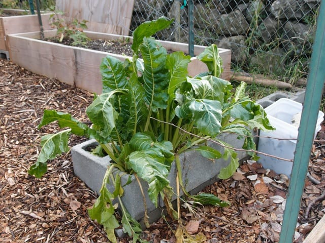 Perpetual Chard - Good substitute for spinach