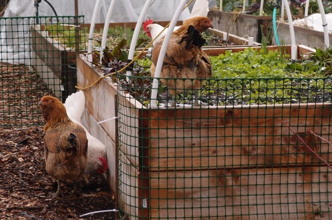 3 Myths About Chickens, Debunked