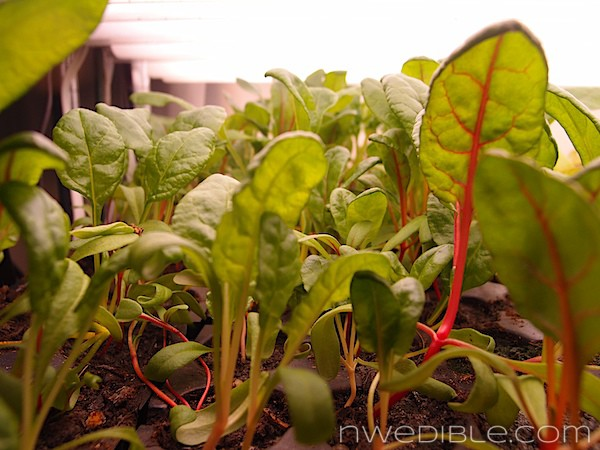To Do In The Northwest Edible Garden: March 2013