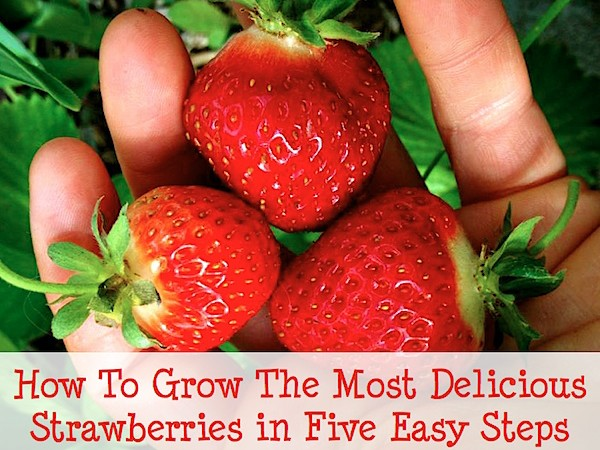 How To Grow The Most Delicious Strawberries