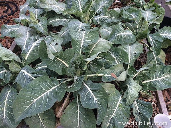 The Hardiest Vegetables For Winter Gardening (Why I Love Overwintering Cauliflower)