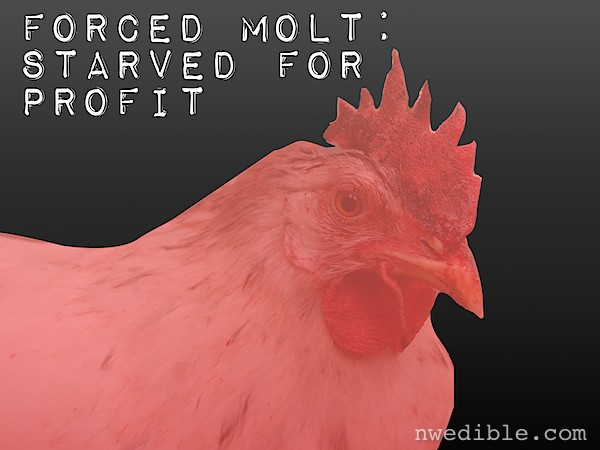 Forced Molt: Starving Hens For Profit