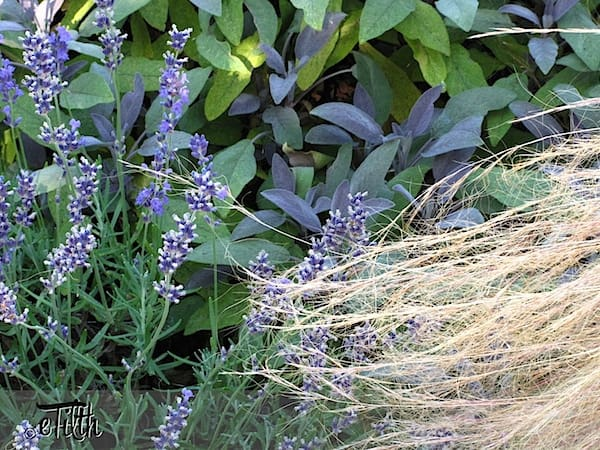 IMG_11278_lavenderSage