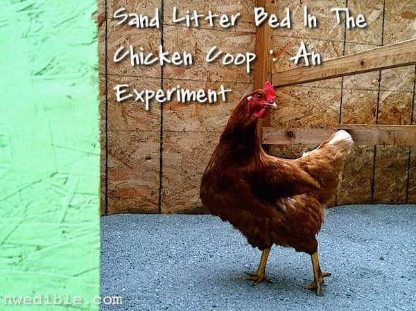 Sand Litter Bed In The Chicken Coop: An Experiment