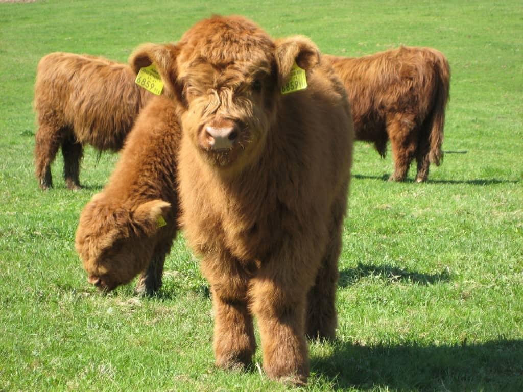 Highland_Cattle_4
